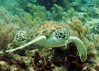 hawks bill sea turtle up close snorkel with key west sailing adventure